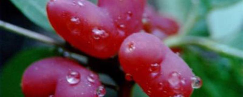 杈杷果怎么种植?