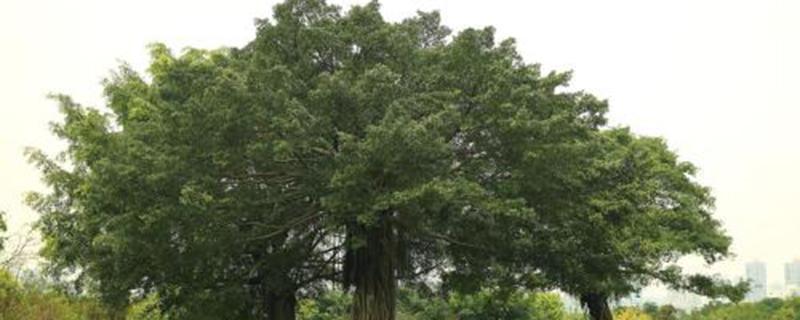 榕树怎么施肥?