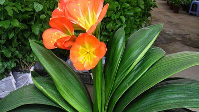 君子兰叶子油绿却不开花,换种肥试试看,年年开出大红花