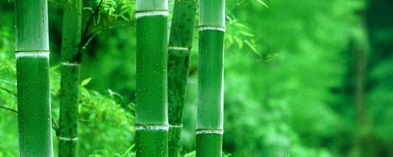 水养竹子太高从哪里剪,叶子黄了怎么修剪?