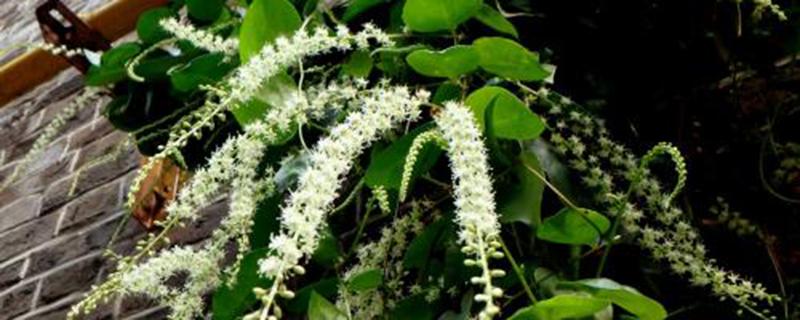 盆栽藤三七的养护方法和注意事项