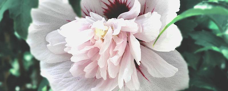 木槿花常见虫害及解决办法