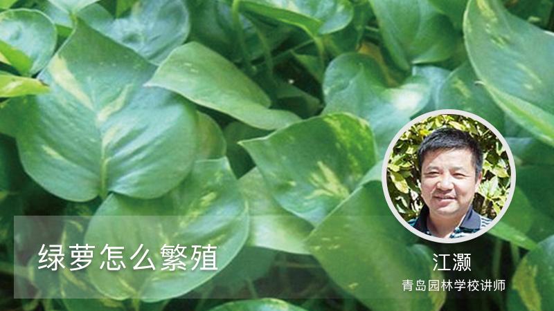 绿萝怎么繁殖