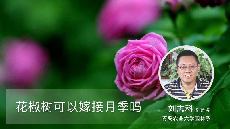 花椒树可以嫁接月季吗