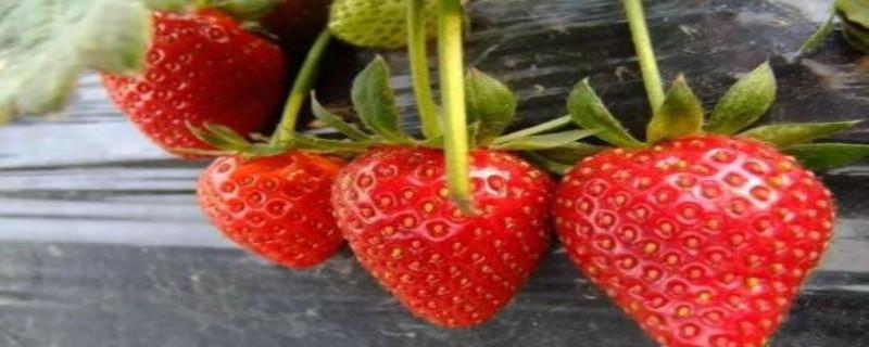 草莓怎么种,需要什么土壤