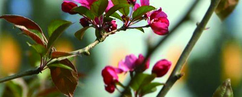 海棠花掉叶子怎么办,叶子蔫了怎么处理