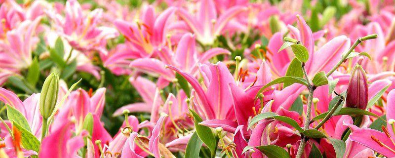 百合花开代表什么意思,在什么季节开花