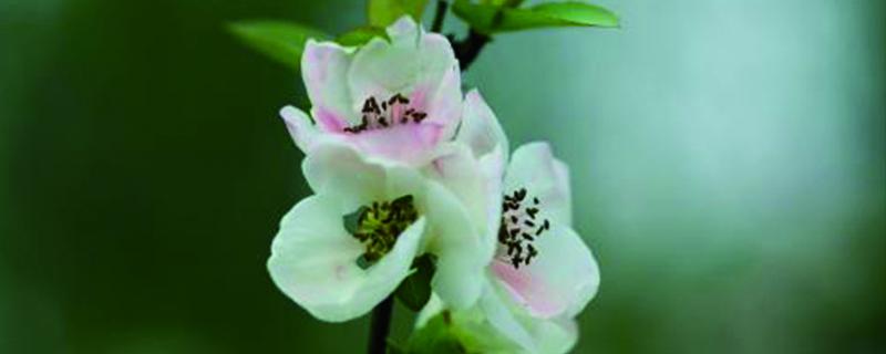 海棠花用什么盆养,大盆还是小盆好?