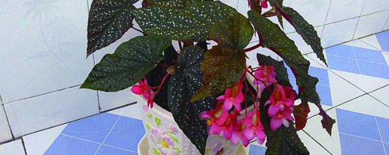 大叶海棠花焦边的原因(图片),焦边怎么办