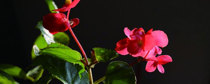 如何判断盆栽四季海棠该浇水了
