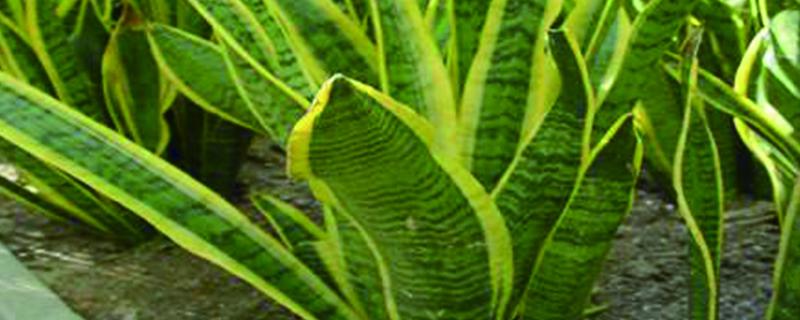 虎皮兰能长多大,会自己繁殖吗