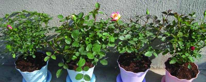 家养玫瑰花怎么养殖(室内和室外方法不同)