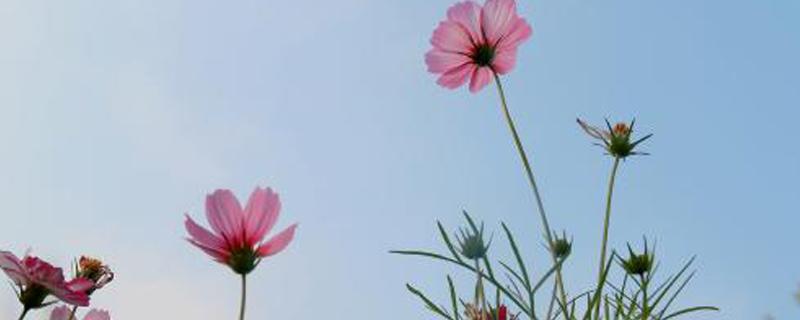 格桑花到底是什么花,花语和寓意是什么