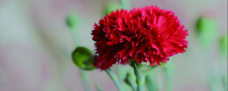 红色康乃馨花语(附不同颜色、枝数的花语含义)