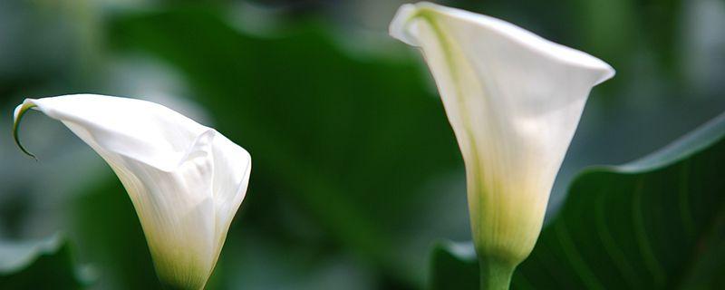 彩色马蹄莲为什么不能复花,有复花方法吗