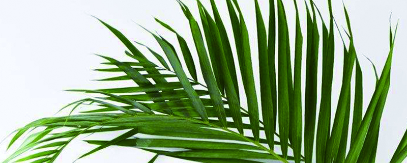 散尾葵怎样用于插花,插花怎样修剪