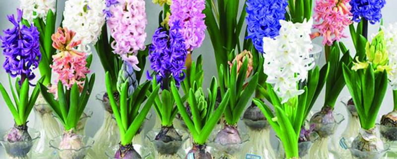 风信子水培时放哪最好,多久开花