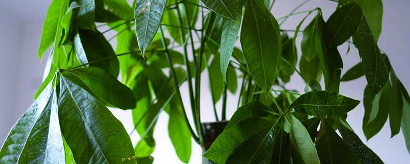 小盆栽发财树的养法