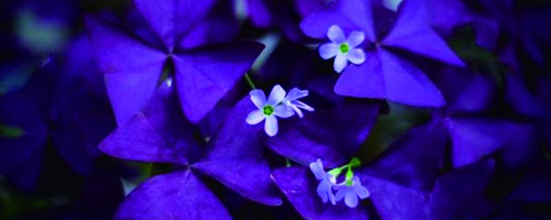 紫叶酢浆草怎么养茂盛
