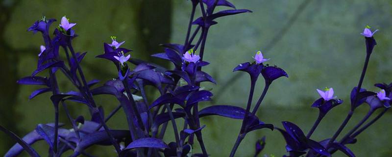 紫竹梅花在屋里养对人体有害吗