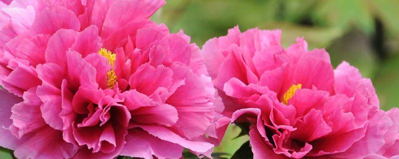 牡丹花能在家里养吗,庭院可以吗