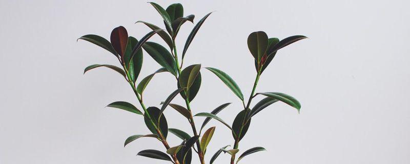 橡皮树叶子扦插方法,新手一看就学会!