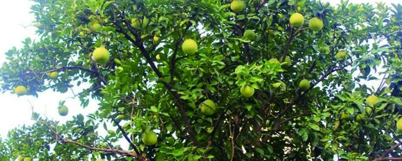 香泡树果实能吃吗,几年能成果