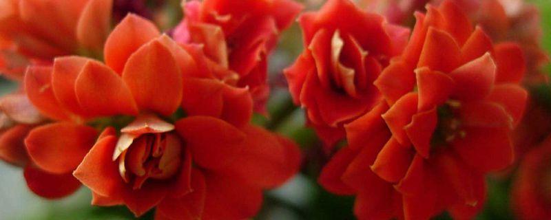 家里养长寿花有什么好处
