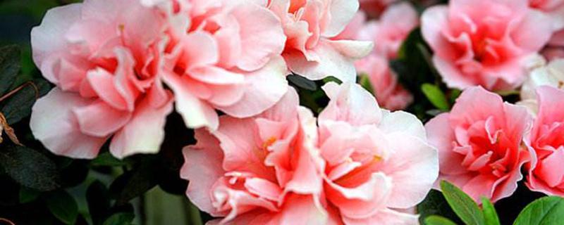 盆栽西洋鹃怎么养殖