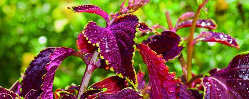 紫苏的养殖方法和注意事项