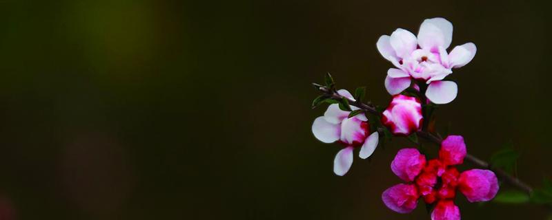 松红梅的养殖方法和注意事项