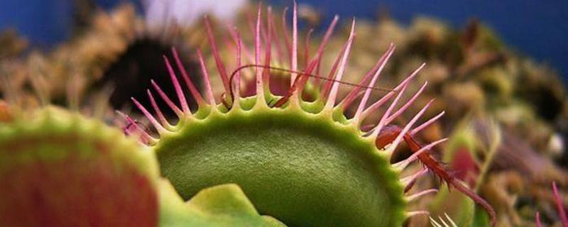 吃苍蝇的植物