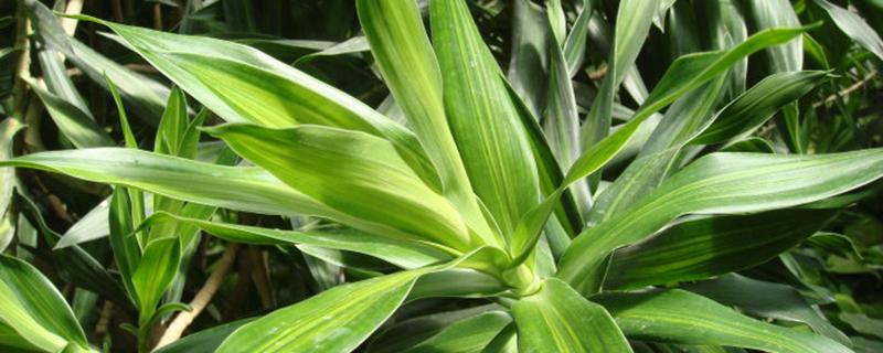 百合竹可以水培吗