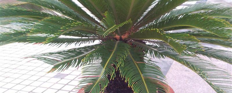 墨西哥铁树的养殖方法