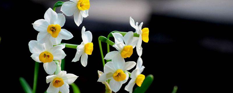 水仙花花语