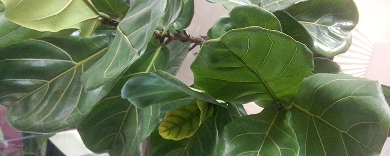 琴叶榕的养殖方法和注意事项
