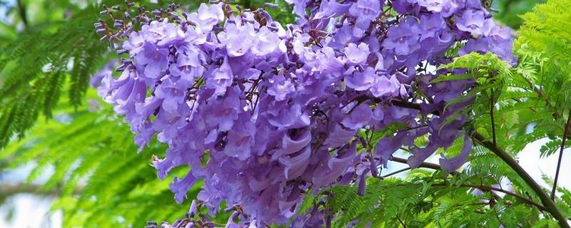 蓝花楹什么时候开花,怎么修剪最好看