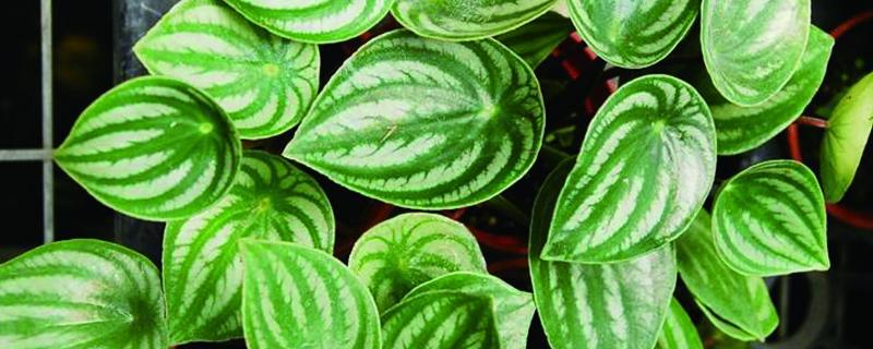 西瓜皮椒草怎么养长得好