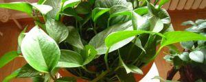 水养绿萝为什么会烂根,烂根怎么补救