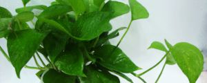 水养绿萝怎么养才茂盛,放啥长得快