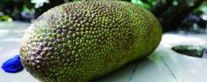怎么辨别树菠萝已经熟了?还有怎么吃它才比较容易?