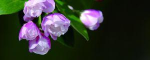 西府海棠花长虫了怎么办