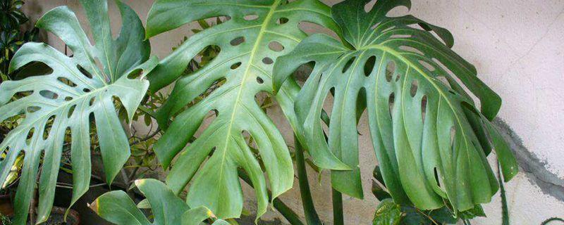 龟背竹怎么繁殖