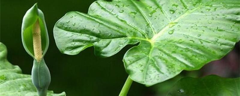 滴水观音的养殖方法