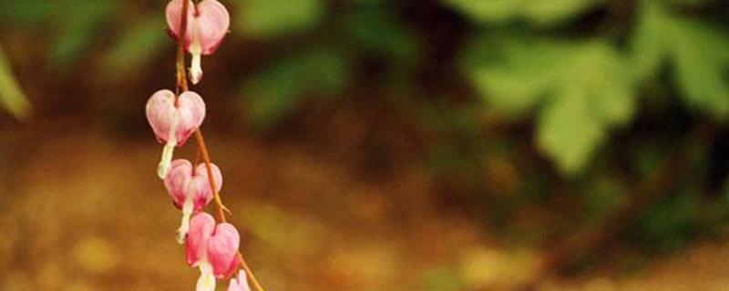 荷包牡丹的养护方法详解