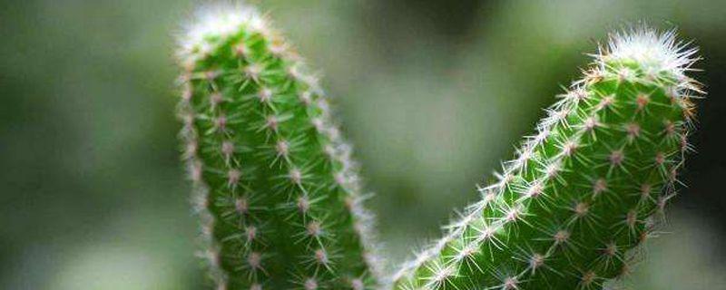 仙人掌的养护方法