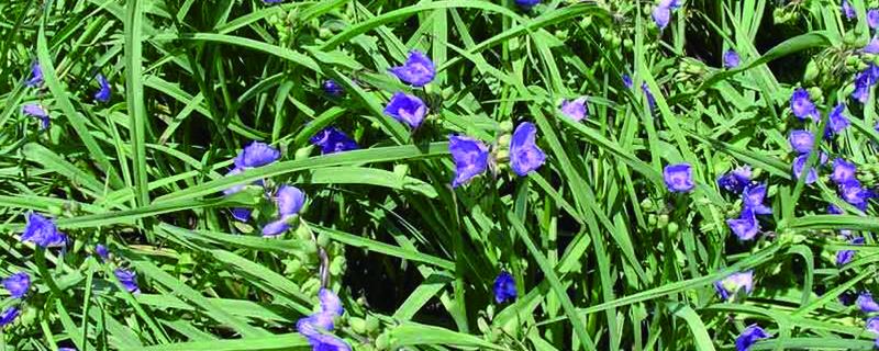 紫露草的养殖方法