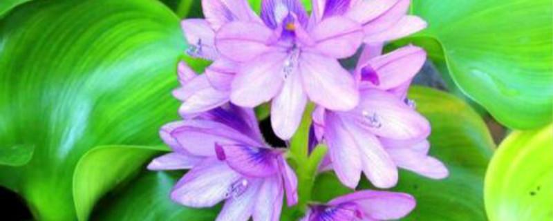 凤眼蓝的养殖方法和注意事项