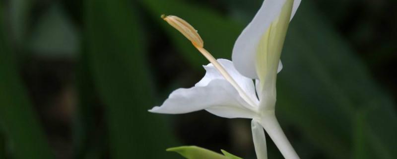 姜花适合在家庭养殖吗,什么时候开花