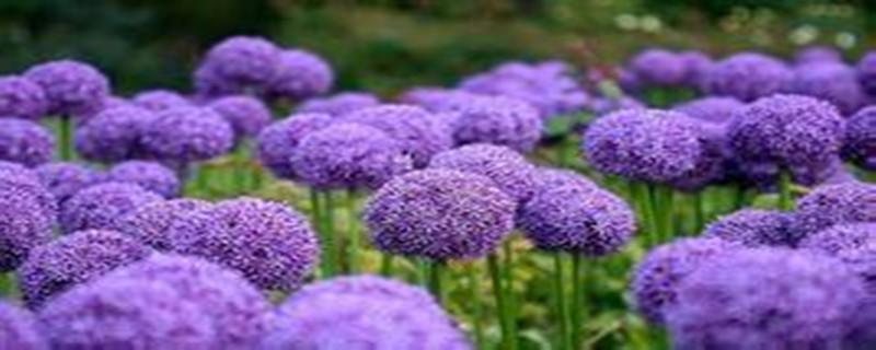 葱头花的养殖方法